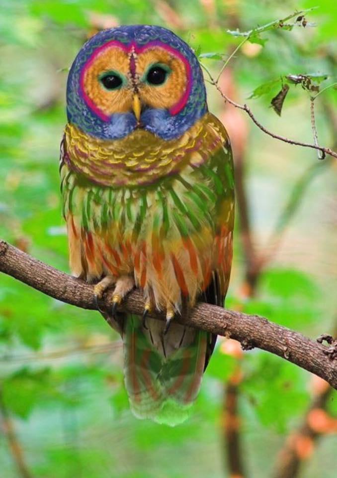 Coruja arco-iris